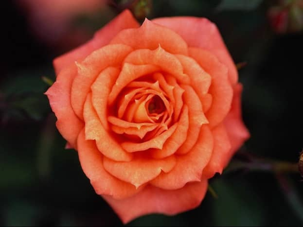 health-benefits-of-rose-water-and-flower-waters
