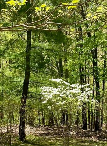 The Ozarks—so many dogwoods.