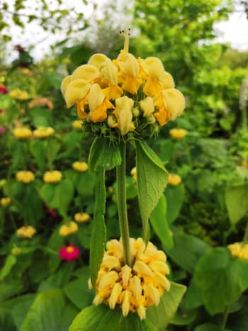 The soft, yellow blooms of Turkish sage are a welcome addition to any garden.