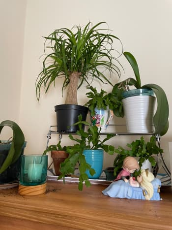 All of the plants on this dresser are pet friendly. Sadly, that meant that my kitty was able to nibble away at the ponytail palm without getting sick.
