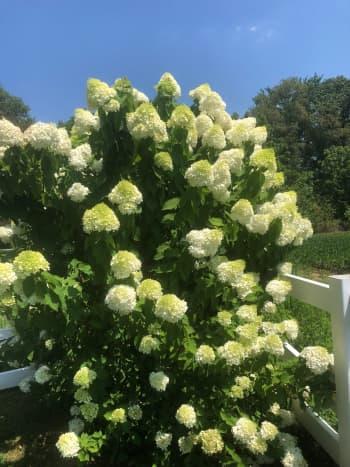 My limelight hydrangea in the summer sunshine.