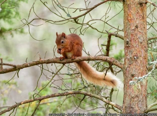 A rare red squirrel in woodland