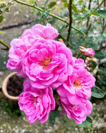 French Rose is a species of flowering plant in the rose family, native to southern and central Europe. It is my favorite flower of all plants that my mother grows in her garden.