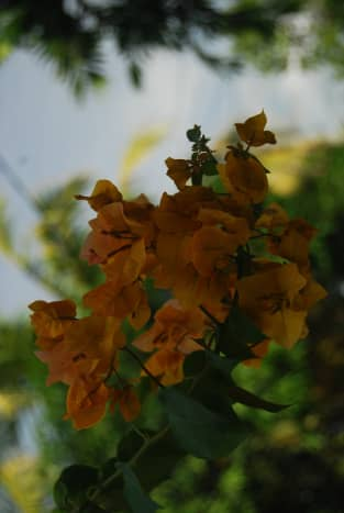 Yellow bougainvillea. Bougainvillea grows best in dry soil, with bright full sun. However, they require little water after initiation.