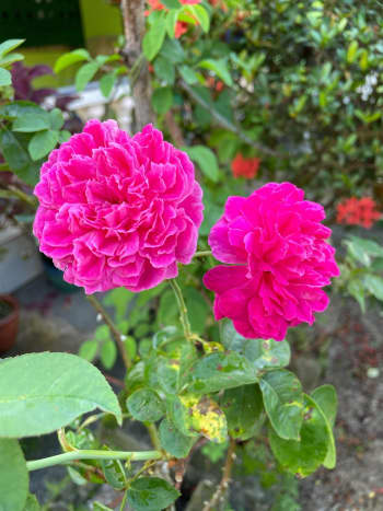 """Rosa """"Princess Anne"""" is also known as English Rose. It is one of my mother's favorite flowers in her garden. The striking red color was just extraordinary. I love the smell of the roses in the morning, especially when it's blossoming."""