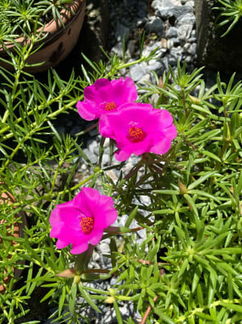 Portulaca grandiflora or known as moss rose is a succulent flowering plant and is often cultivated in gardens.