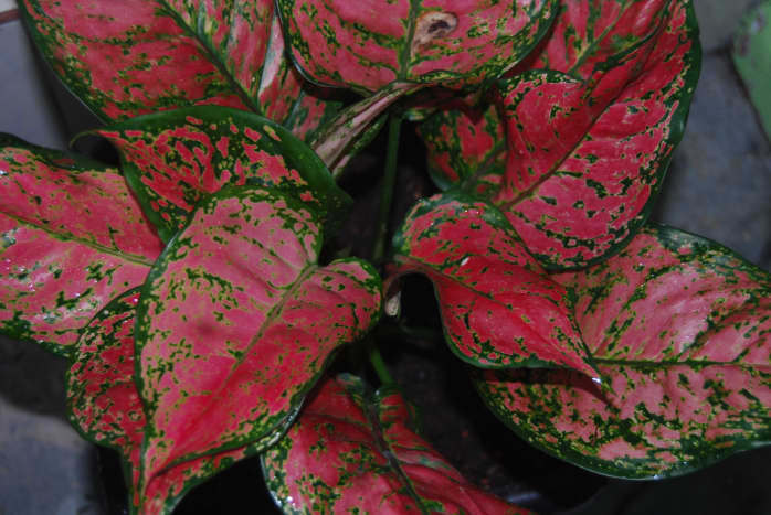 Aglaonema Valentine is also known as Chinese Evergreen. Nowadays, it is loved species in the houseplant for its colors and striking patterned leaves.