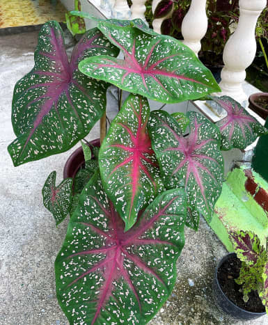 This is my favorite caladium. This plant loves lots of warm and humid weather as it is sun-tolerant. However, make sure do not to let the soil dry out!