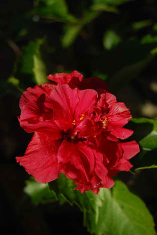 Hibiscus is a popular plant in Malaysia. My mom has had the hibiscus rosa-sinensis plant for a while in her garden. By the way, it is the national flower of Malaysia.