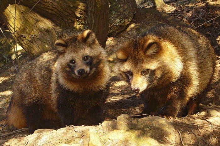 日本浣熊(Nyctereutes viverrinus)在日本民间传说和艺术中占有重要地位。它们主要在夜间活动,发出的声音和家猫发出的声音相似。