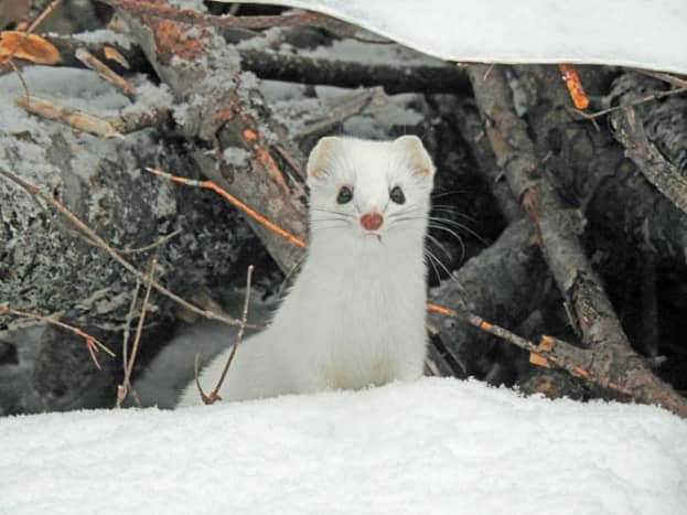 最小的黄鼠狼在冬天是白色的。