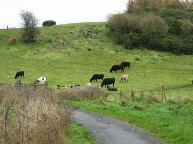 Cattle grazing at Lagan Meadows