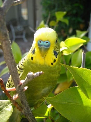 A beautiful budgie.