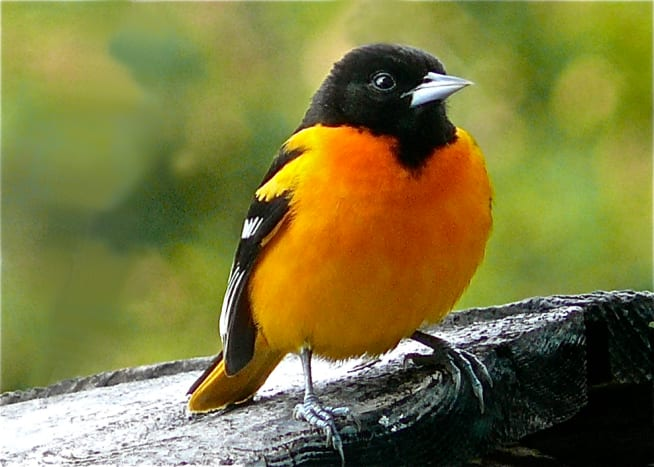 A northern oriole proudly displaying its trademark orange plumage