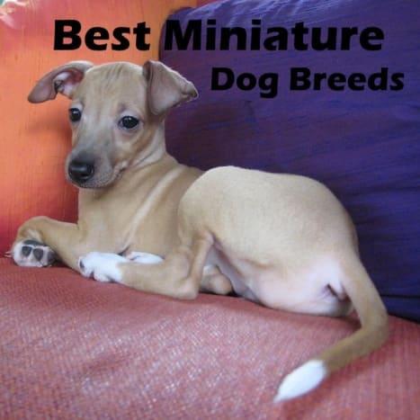The best miniature dog breeds.