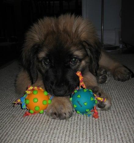 A Leonberger puppy.