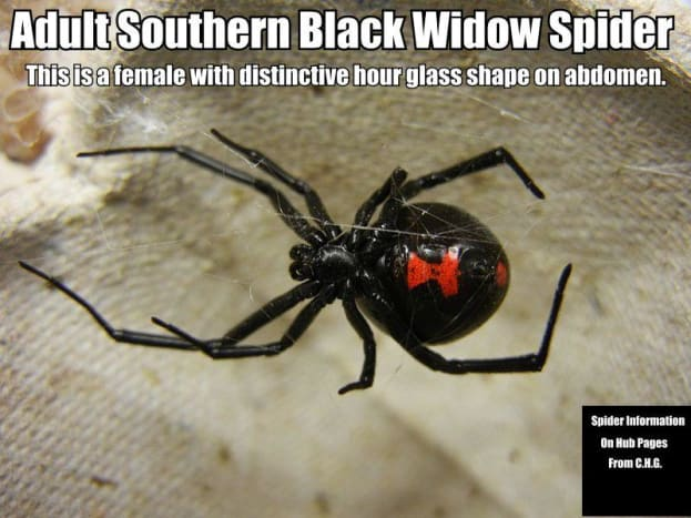 The Southern Black Widow Spider females can be easily identified by the distinctive hourglass shape on their abdomens.