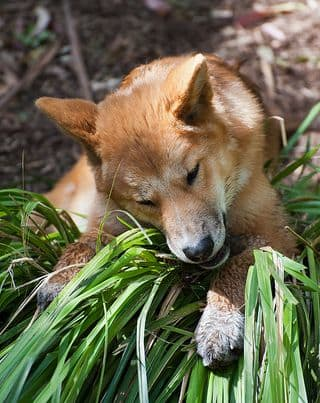 An adult dingo.