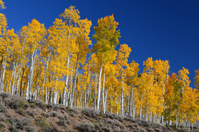 A Stand of Quaking Aspen in Fish Lake National Forest