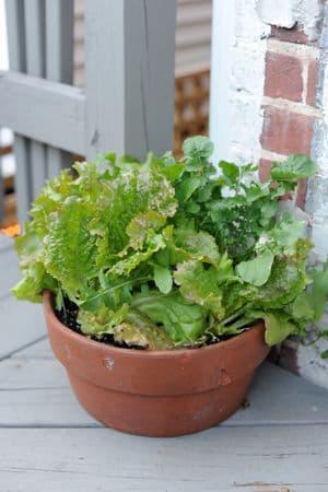 Lettuce in pot