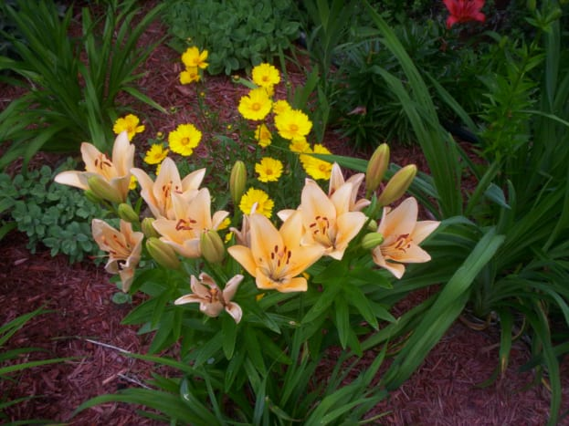 Asiatic lilies are a great addition to any perennial garden.