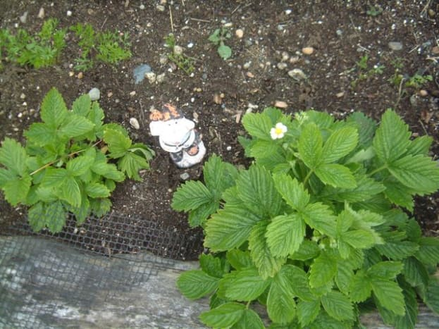 Many strawberries are leafing out.