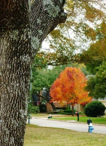 Bradford Pear tree in the fall