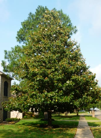 Southern Magnolia tree in our subdivision