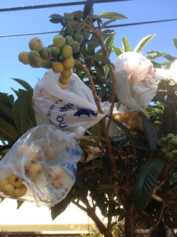 My loquat tree is protected from the squirrels, who also love to eat them.