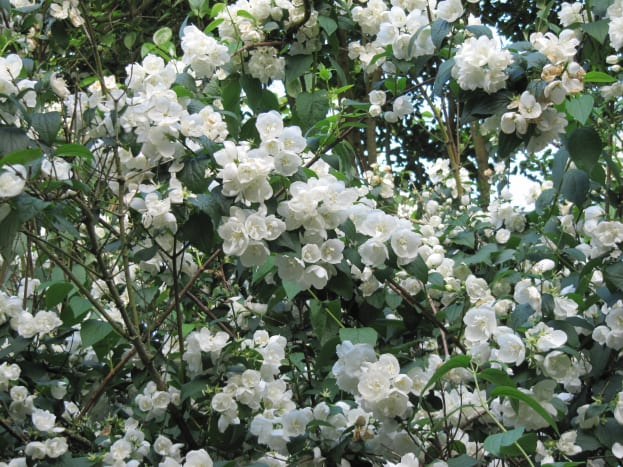Mock orange plants are called such because of their similar resemblance and smell to that of orange flowers.