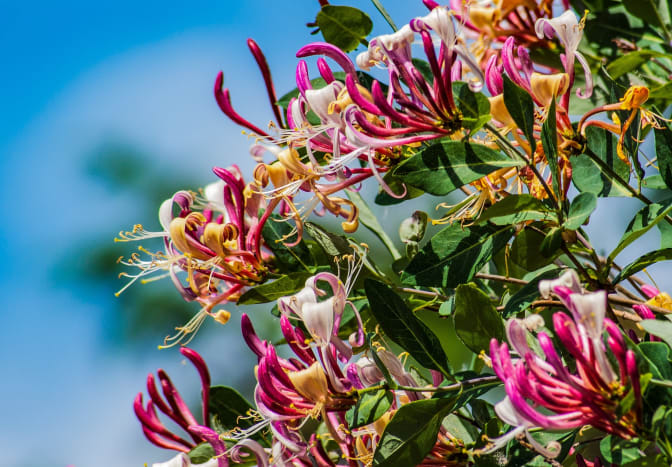 Honeysuckle is a plant with wonderful blooms that smell great and symbolize dreams of love.