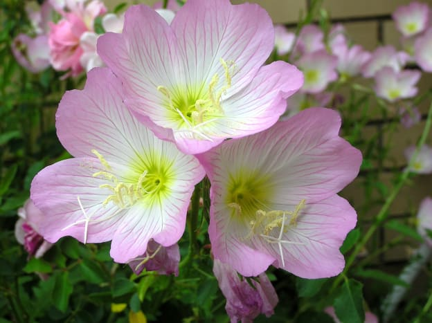 Another night-bloomer, evening primrose has also traditionally been used for various medicinal purposes.