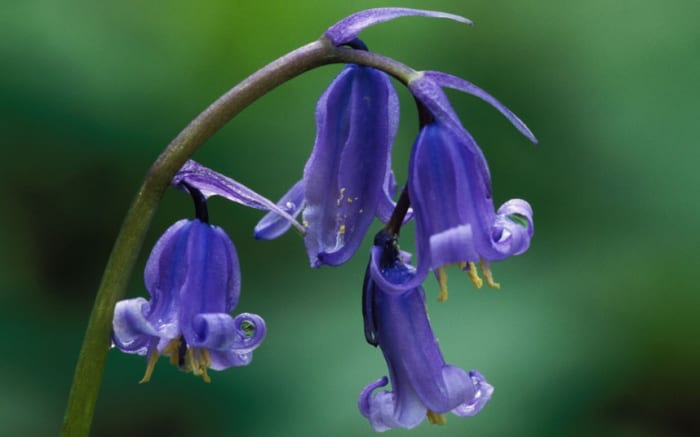 Bluebells are among some of the easiest plants to care for, as they are resistant to pests, diseases, deer, and rodents.