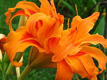Kwanso Daylily - These are beautiful, but will spread from the roots underground.