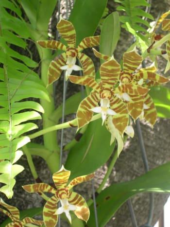 Tiger Stripe Orchid - Neofinetia falcata