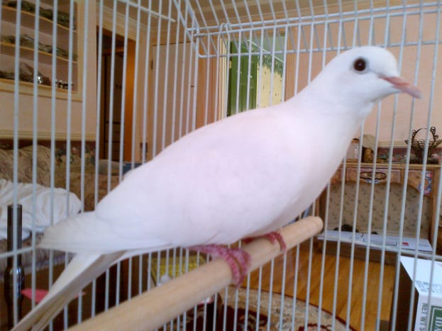 A pet Java dove in its cage.