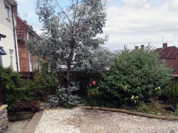 The eucalyptus tree in our front garden