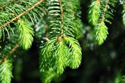Fresh pine is so refreshing and perfect if you need a cool breeze!