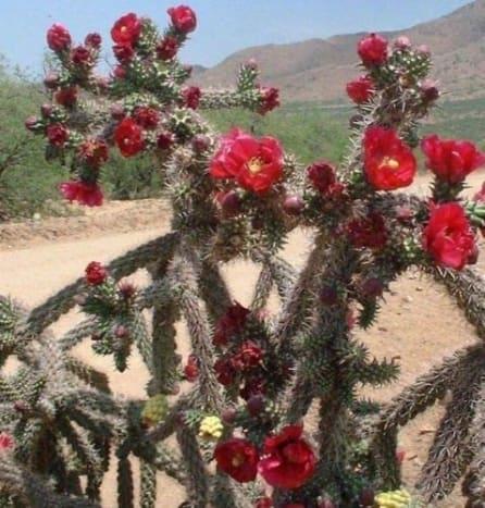 Chollas in Bloom