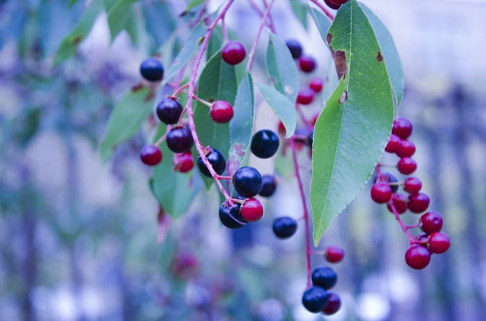 Huckleberries.