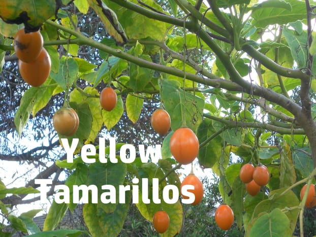Yellow tamarillos are hard to find.