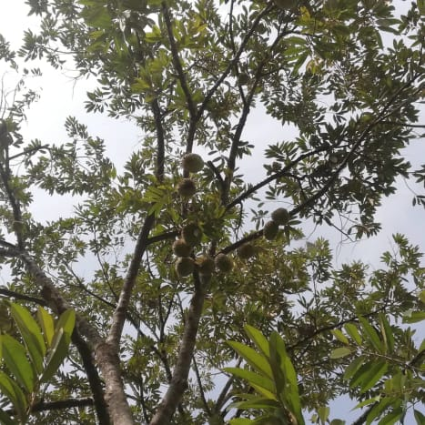 The durian tree in my parents' backyard.