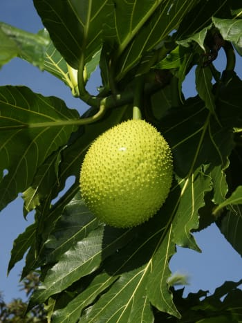 The breadfruit tree