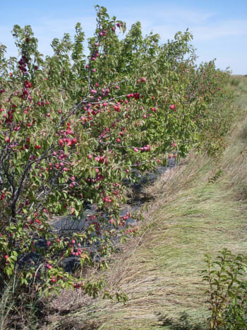 Wild plums will form thickets, if allowed to live without much interference. This cultivated row is on its way to being a thicket.