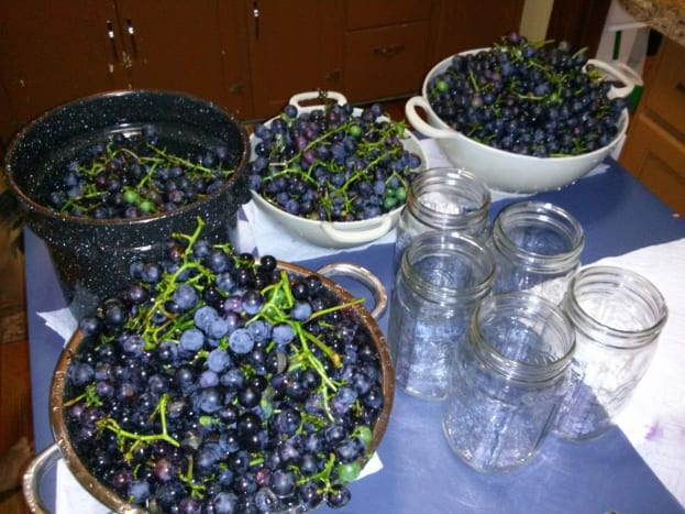 Grapes ready for the juicer.