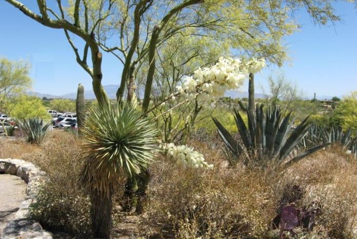 white flowers on Spanish Bayonet