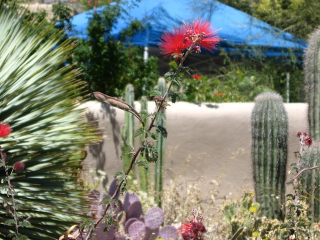 Various cacti and wild flowers in bloom in the Arizona Desert