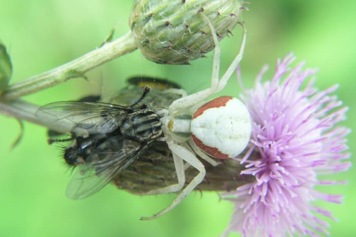 Misumena vatia with a captured fly.