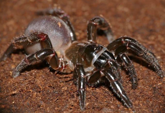Cteniza sauvagesi, the trapdoor spider.