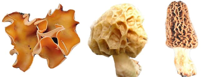 Above are three types of Ascomycota: A typical sac fungi (left) and two varieties of delicious morel (center and right).
